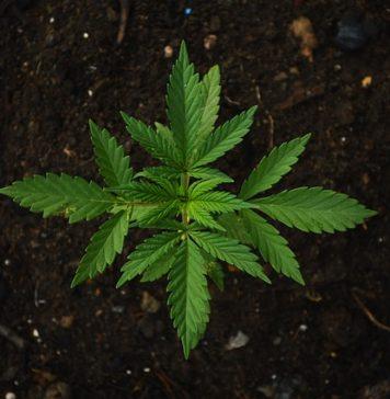 cannabis vs alkohol