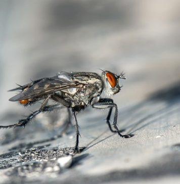 fliegenplage in der Wohnung Ursache Hausmittel hilft